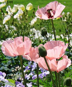 "fotofreddy: "" Own picture: pink poppies "" Amazing Flowers, My Flower, Flower Art, Flower Power, Beautiful Flowers, Pictures Of Poppy Flowers, Wild Flowers, Pink Poppies, Trees To Plant"