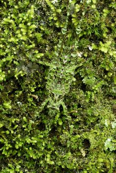 A Katydid camouflages itself on moss in Costa Rica (Picture: ARDEA / CATERS NEWS / Thomas Marent - The Telegraph)