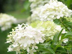 White House Garden, Home And Garden, White Flowers, Beautiful Flowers, Green Hydrangea, Hydrangeas, Perfect English, English Country Gardens, White Gardens