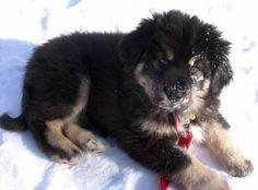 Bandog Breeders | Kartal Tibet... Bandogge Mastiff,amerikan mastif... Tibet Köpekleri ...