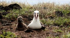 """Fence Is Behind an Explosion of Life in a Wild Corner of Hawaii: """"Seabirds such as Laysan albatrosses and wedge-tailed shearwaters flourish on Kaena Point (Oahu) as a new predator-proof fence keeps cats and mongooses out."""" Yay!"""