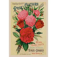 Buyenlarge Our New Guide to Rose Culture, 1895 Vintage Advertisement