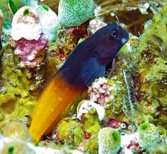 Bicolor blenny -  Ecsenius bicolor   by divemecressi
