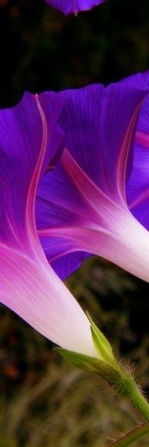 Beautiful morning glories #cuudulieutransang | cuu du lieu tran sang | cứu dữ liệu trần sang | cong ty cuu du lieu tran sang | công ty cứu dữ liệu trần sang | http://cuudulieutransang.wix.com/trangchu