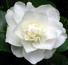 Camellia,Camellia Flower, Camellia Japonica,White Camellia Camellia is a genus (family of more than one) of flowering plants in the fam. Love Flowers, White Flowers, Beautiful Flowers, Wedding Flowers, Romantic Flowers, Gardenias, Winter Plants, Winter Garden, White Camellia