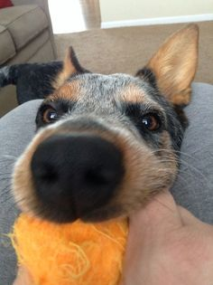 7 month old Australian cattle dog! Bubby! ((Otherwise known as scout))