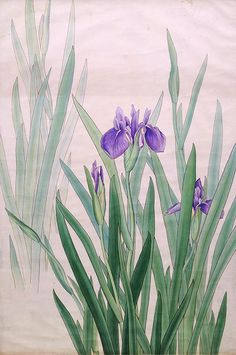 *Iris - 菖蒲