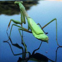 Shit just got real. #insect #preyingmantis #usa #bug