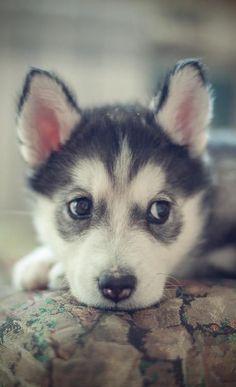 Husky puppy ♥