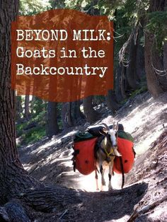 Beyond Milk:  Goats in the Backcountry.   How one family with young children gets out backpacking, with goats!  :: Homestead Honey