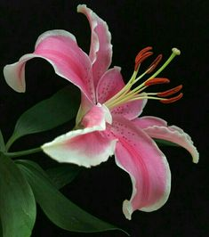 Flowers and Gardening. Helpful Organic Gardening Information, Advice, And Tips. Tending to an organic garden can be a highly rewarding and calming activity that anyone can participate in. Exotic Flowers, Tropical Flowers, Amazing Flowers, Beautiful Flowers, Types Of Lilies, Lily Painting, Flower Photos, Botanical Art, Watercolor Flowers