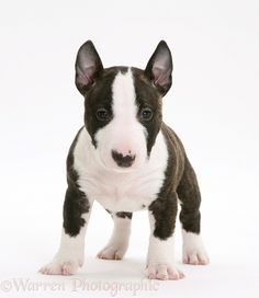 Dog: Miniature English Bull Terrier pup, 6 weeks old.