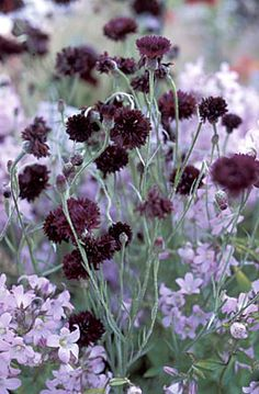 Cornflower, 'Black Ball' ;& campanula loddon anna