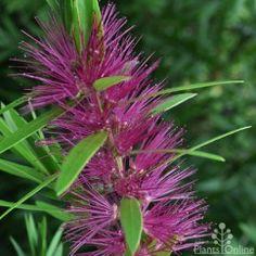 Callistemon 'Purple Splendens', #native flowering #bottlebrush shrub which #wildlife loves. A unique twist on an Aussie favourite.