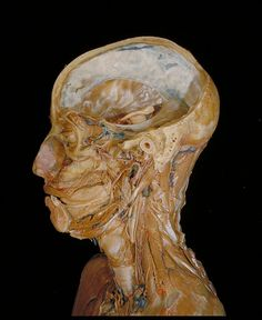 All sizes | Neck, oral cavity and cranium | Flickr - Photo Sharing!