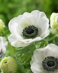Anemone coronaria This is a Spring bulb that produces flowers for about 2 months. The flowers can be used in floral arrangements. White Flowers, Beautiful Flowers, White Anemone Flower, Poppy Flowers, Fresh Flowers, Spring Flowers, Moon Garden, Fence Garden, White Gardens