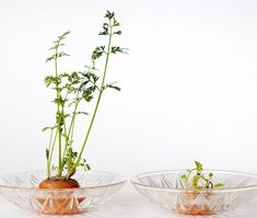 Let's grow carrot tops! houseplants for a sunny window and their fern-like foliage is beautiful in an outdoor container garden. Eventually, white lacy flowers will bloom. Growing carrot tops from carrots takes no special equipment and results… Vegetable Garden, Garden Plants, Indoor Plants, Garden Soil, Herb Garden, Garden Beds, Carrot Top, Growing Plants, Growing Vegetables