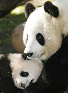 These adorable photos show the latest addition to the San Diego zoo - a world-record setting panda. The cub's birth also takes the number of pandas at the zoo up to four, the most for any centre in the United States. Vida Animal, Mundo Animal, My Animal, Bear Animal, Panda Love, Cute Panda, Cute Baby Animals, Animals And Pets, Baby Pandas