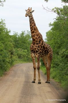 Africa | Giraffe photographed in Hluhluwe National Park, South Africa | ©Michele Newland