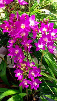 OrchidCraze: FOMOS Monthly Orchid Show 2012.  Spathoglottis hybrid noID