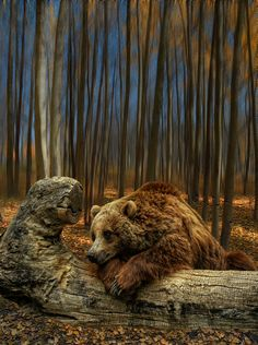 The brown bear (Ursus arctos) is a large bear distributed across much of northern Eurasia and North America. By Peter Holme Nature Animals, Animals And Pets, Cute Animals, Wild Animals, Beautiful Creatures, Animals Beautiful, Animal Pictures, Cool Pictures, Bear Pictures