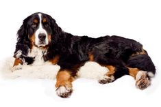 Bernese Mountain Dog – 6 to 8 years