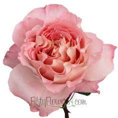 Augusta Luise Garden Rose1 350 821b1480