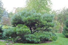 Pinus strobus 'Nana' - dwarf white pine  even left to grow to full size is only 12 feet tall like a giant bonsai