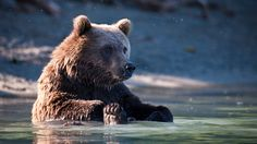 目にも耳にも涼しい!鮭を狩るヒグマのライブカメラでバーチャル避暑を