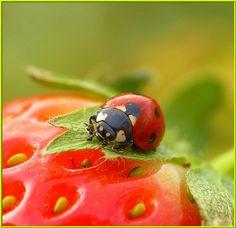 ladybug on a strawberry