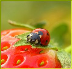 ladybug on a strawberry