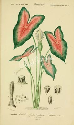 Elephant ear (Caladium bicolor) illustrated by Charles Dessalines D' Orbigny Digitally enhanced from our own 1892 edition of Dictionnaire Universel D'histoire Naturelle. Illustration Botanique, Illustration Blume, Botanical Illustration, Vintage Botanical Prints, Botanical Drawings, Botanical Art, Vintage Flower Prints, Elephant Ear Plant, Elephant Ears
