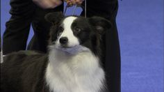 Exhibitor and breeder of the border collie dog in australia. Description from…