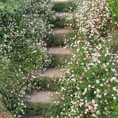 Adorable little daisy (fleabane) that self seeds into the cracks of sunny walls & steps. erigeron karvinskianus - Google Search
