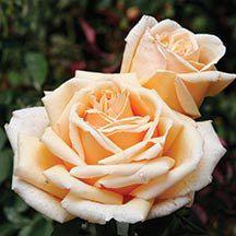 Valencia Hybrid Tea Rose   Hybrid Tea Roses   Edmunds' Roses