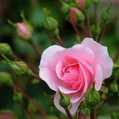 """shellsonthebeach: """"Pink rose  by artspics_1 on Flickr. """""""