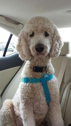 28 Best Goldendoodles Hair cuts images | Dog Grooming, Dog
