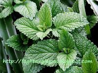 Make your own mint extract using fresh mint from your garden. Very easy!