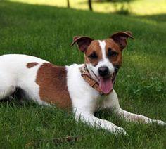 Raça Jack Russel Terrier