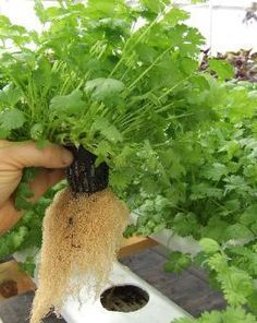 Most Profitable Plants to Grow in Aquaponics - for the Commercial Gardener #hydroponicgardening