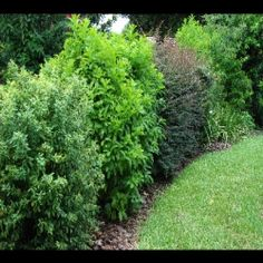 Fast Growing Hedges, Privacy Hedges, Rose Hedges, Shrubs For Hedges