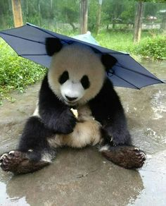 Panda rainy season What a cutie Nature Animals, Animals And Pets, Baby Animals, Cute Animals, Animal Pictures, Cute Pictures, Panda Mignon, Panda Costumes, Panda Images