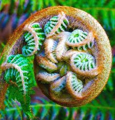 Fern leaf unfurling - fibonacci spirals and fractals in nature All Nature, Science And Nature, Amazing Nature, Fractals In Nature, Spirals In Nature, Fern Frond, Tree Fern, Fern Gully, Fibonacci Spiral