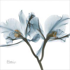 Orchids in Blue Art Print photographer : Albert Koetsier