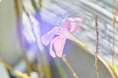 青いベールを纏ったピンク色の花