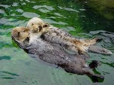 Afbeeldingsresultaat voor otters holding hands