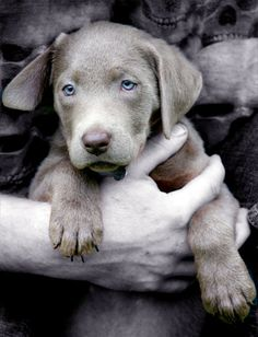 Silver lab puppy - my cousin has one, they are SO pretty. Silver Labrador Puppies, Labrador Retriever, I Love Dogs, Puppy Love, Cute Puppies, Dogs And Puppies, Chocolate Labs, Silver Labs, Cat Things