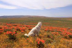 Antelope Valley Poppy Fields, CA / March 2015