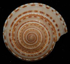 Shells with a clockwise spiral are called dextral shells.  Those with an anti-clockwise spiral are sinistral shells.