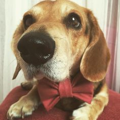 Mr. Cuddlo with awesome dog bow tie! 30% of the sales is donated to dog shelters